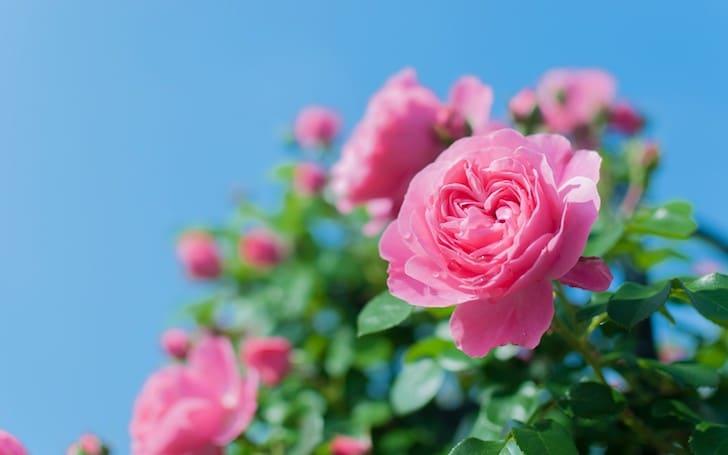 バラの育て方。バラに必要な肥料や土、剪定について。