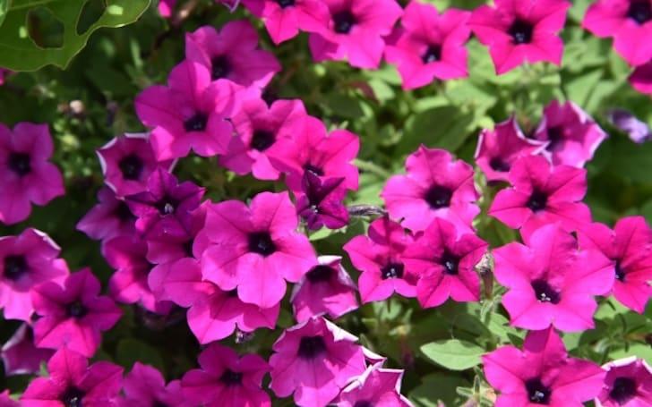 ペチュニアの育て方。種まき・植え付け方法は?花がら摘み・切り戻しの方法は?
