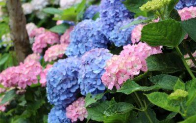 アジサイの育て方。土の乾燥に注意する事と花後の剪定方法がポイント。