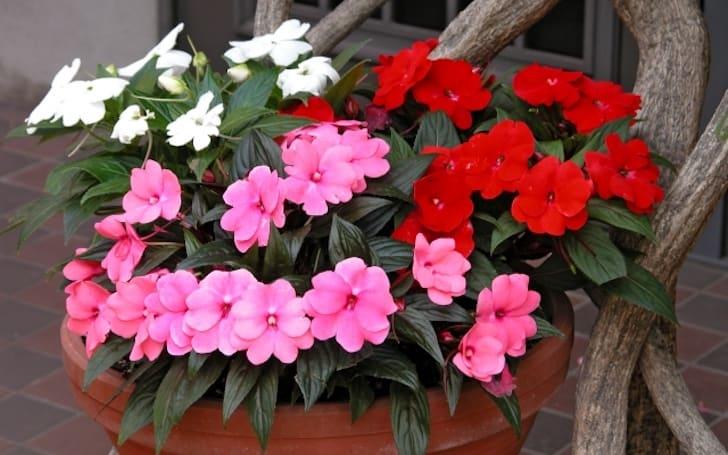 インパチェンスの育て方。日陰でも育てられるので誰にでもおすすめの花。