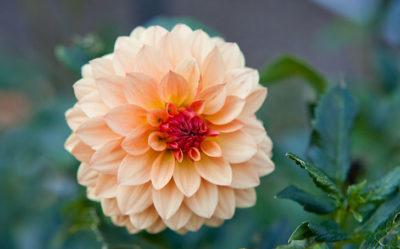ダリアの育て方。球根の植え付け方や摘芯・切り戻し・花がら摘みがポイント。