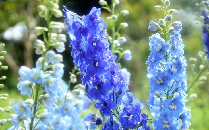 デルフィニウムの育て方。支柱立て・花がら摘み・切り戻しがコツ。