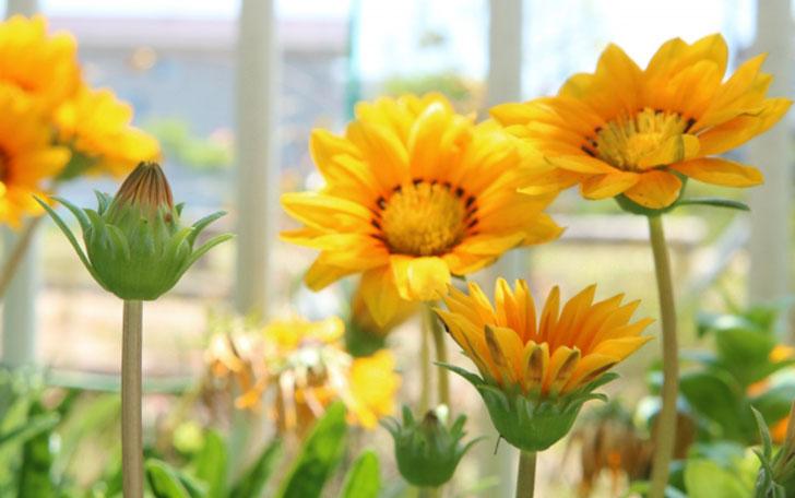 ガザニアの育て方。水やり・花がら摘み・冬越しの方法。