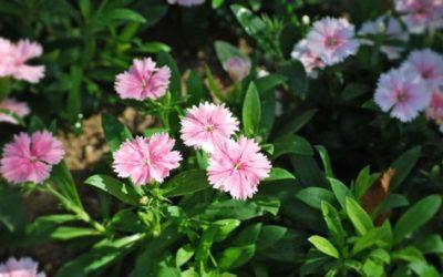 ダイアンサス(ナデシコ)の育て方。肥料のやり過ぎと過湿に気をつけるのがポイント。
