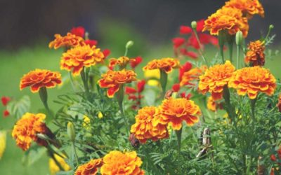 マリーゴールドの育て方。水やりと花がら摘みがうまく育てるポイント。