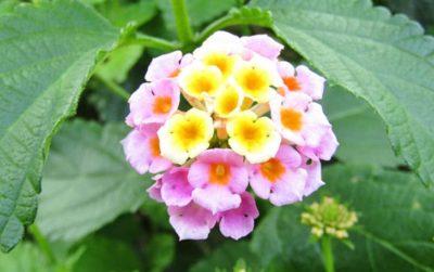 ランタナの育て方・栽培方法のコツ