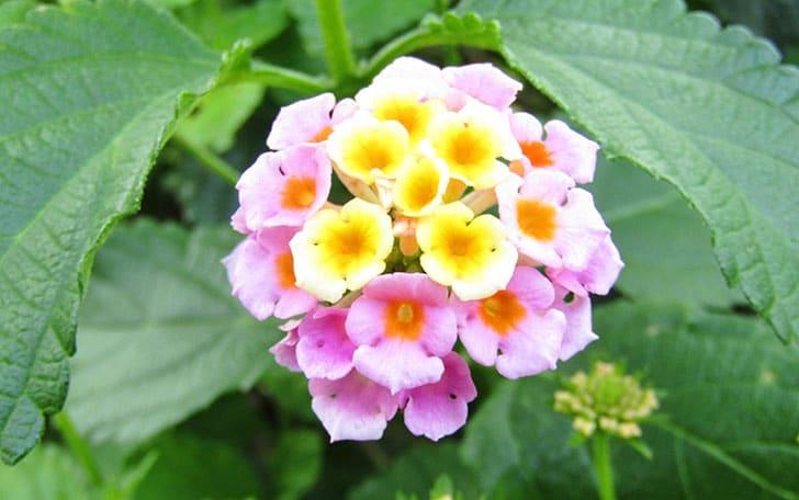ランタナの育て方。開花時期や水やり、挿し木の方法について。