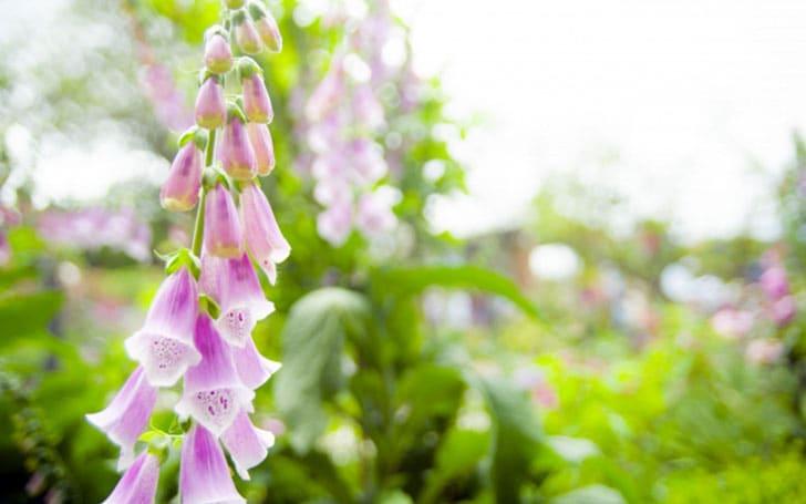 ジギタリスの育て方。種まきの方法や、最適な土・花がら摘みについて。