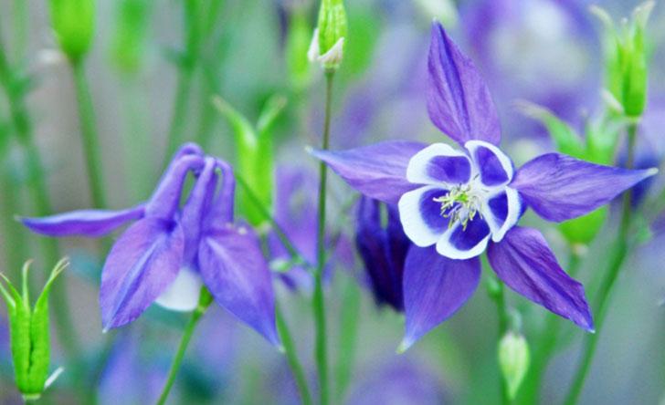 オダマキの育て方。土作りや肥料・花がら摘みについて。