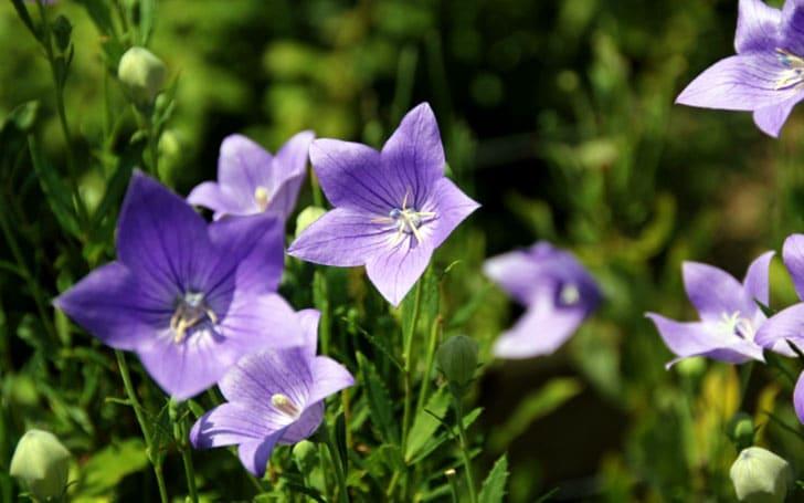 キキョウ(桔梗)の育て方。種まき・植え付けの方法や冬越しについて。