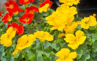 ナスタチウムの育て方。移植をしない事と花がら摘みがうまく育てるコツ。