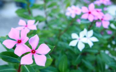 ニチニチソウ(日々草)の育て方。過湿と肥料切れに注意することがコツ。