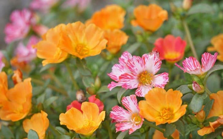 ポーチュラカ(ハナスベリヒユ)の育て方。種まきや植え付け・挿し芽の方法について。