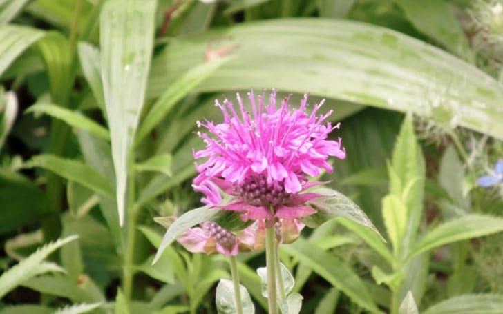 モナルダ(ベルガモット)の育て方。種まきや肥料やり・水やりについて。