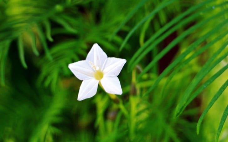 ルコウソウの育て方。種まきの方法や水やり、移植・摘芯について。