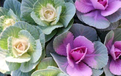ハボタン(葉牡丹)の育て方。植え付けはいつまで?手入れの仕方・水やりについて。