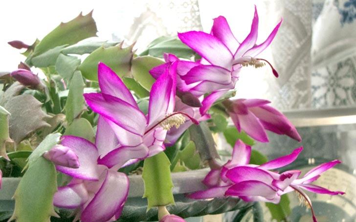 シャコバサボテンの育て方。水やり・場所・葉摘みがうまく育てるコツ。