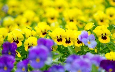 パンジー・ビオラの育て方。種まき・土作り・肥料・切り戻しについて。