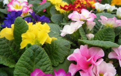 プリムラの育て方。植え付け時期・水やり・肥料・冬の管理について。