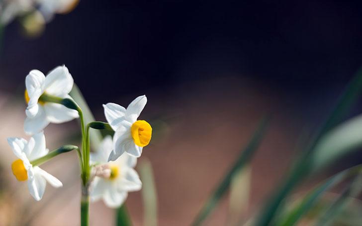 スイセン(水仙)の育て方。球根の植え付け方、花後の処理は植えっぱなし・掘り上げどっち?