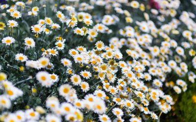 ノースポール(クリサンセマム)の育て方。種まき・切り戻し・増やし方について。