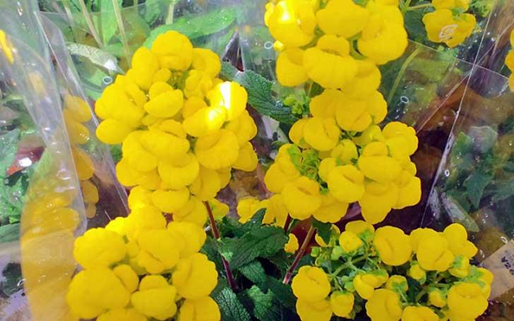 カルセオラリアの育て方。種まきの方法や水やり・肥料について。