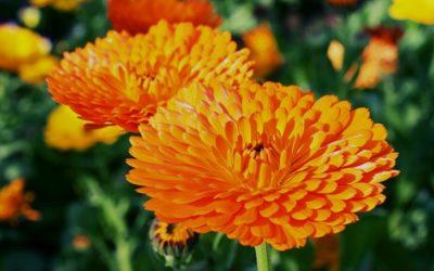 キンセンカの育て方。種まきと肥料・水やりの仕方。摘芯・種の取り方について。