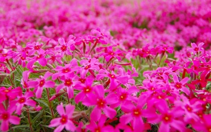 シバザクラ(芝桜)の育て方。開花時期は?植え付け方や挿し芽の仕方について。