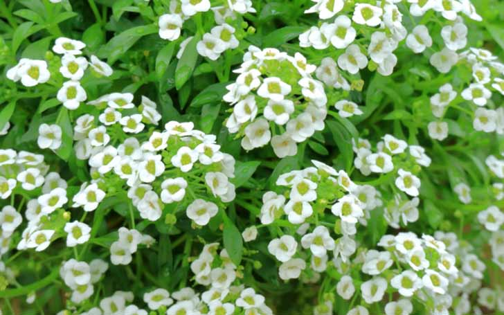 スイートアリッサムの育て方・栽培方法のコツ | Garden Memo