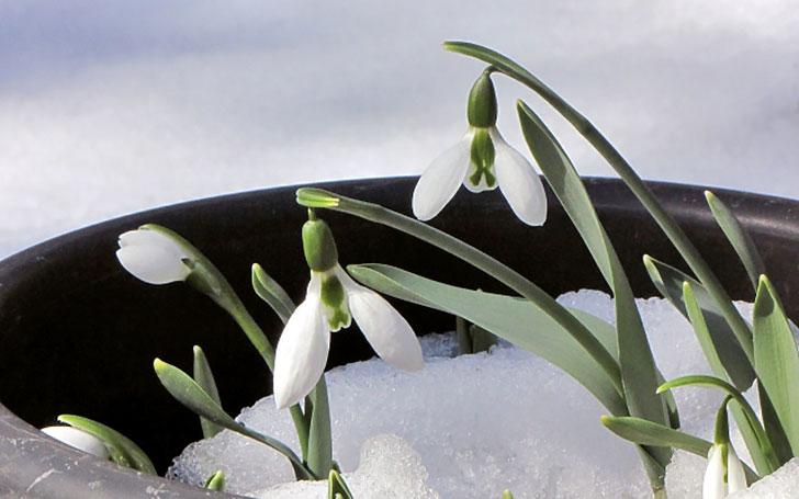 スノードロップの育て方。球根の植え付け方・肥料・夏越しの方法は?