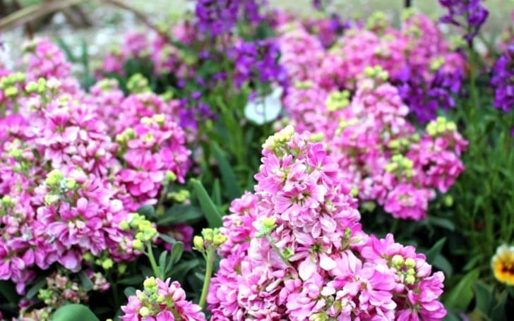 ストックの育て方。種まき・植え付け・切り戻しの方法。冬の管理について。