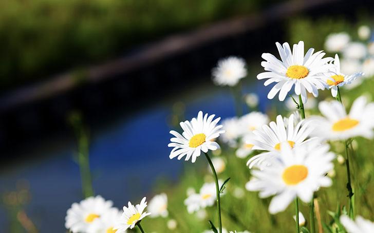 マーガレットの育て方。植え付け・水やりの方法。花後の管理について。
