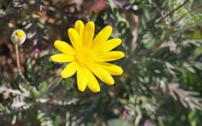 ユリオプスデージーの育て方。植え付け・肥料・水やりの頻度は?切り戻し・夏越しの方法は?