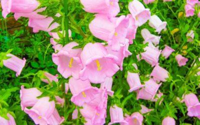 カンパニュラ(高性・矮性)の育て方。種まき・植え付け・水やりの方法。
