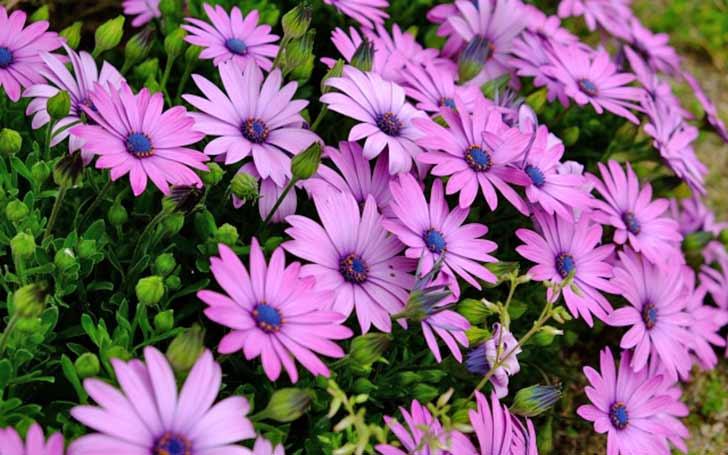 オステオスペルマムの育て方。植え付け・切り戻し・冬越し・挿し芽の方法。