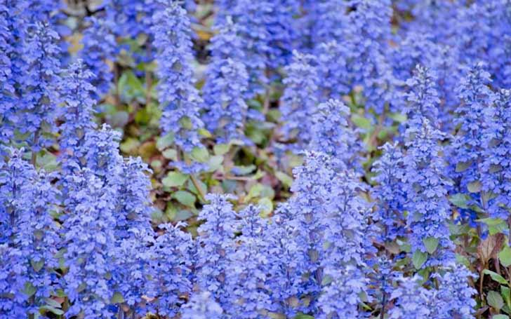 アジュガの育て方。花壇に最適!植え付け場所は?水やり・肥料の頻度は?