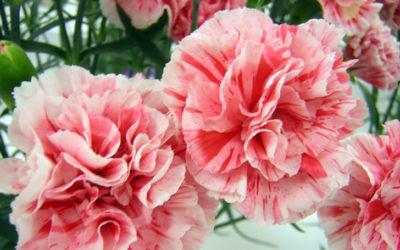 カーネーションの育て方。種まき・植え付けの方法は?冬と夏の管理は?