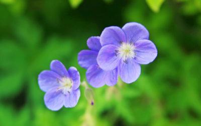 ゲラニウムの育て方。種まき・植え付けの方法。肥料や水やりの頻度は?
