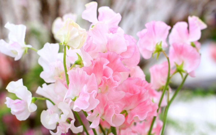 スイートピーの育て方。種まき・植え付け・種とりの方法は?摘芯はいつ?