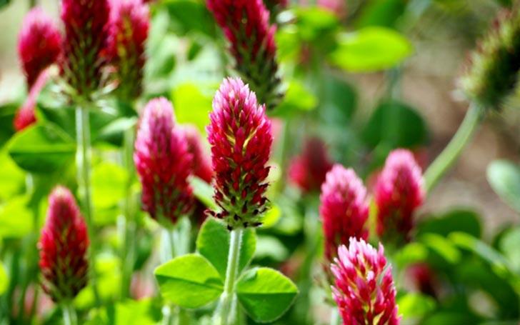 ストロベリーキャンドルの育て方。種まき・植え付け・水やりは?肥料は必要?