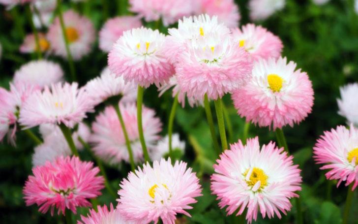 デージーの育て方。種まき・植え付けの方法は?花がら摘みは忘れずに。