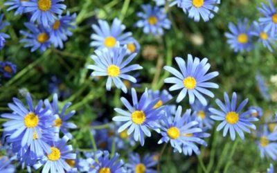 ブルーデージーの育て方。開花・植え付け時期は?育てる場所・水やり・肥料は?