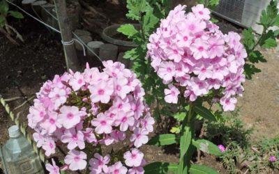 フロックス・ドラモンディの育て方。種まき・植え付けの方法は?水やりの頻度は?