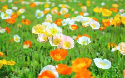 ポピーの育て方。種まき・植え付けの方法。移植はダメ?水やりや肥料の頻度は?