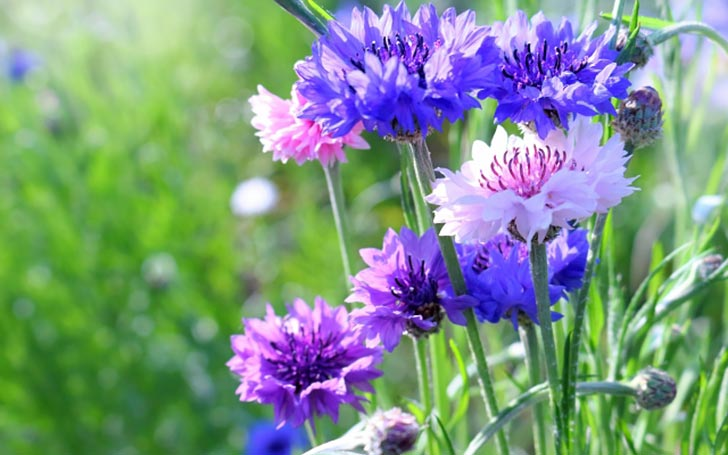 ヤグルマギク(矢車菊)の育て方。種まき・植え付けの方法は?肥料は必要?
