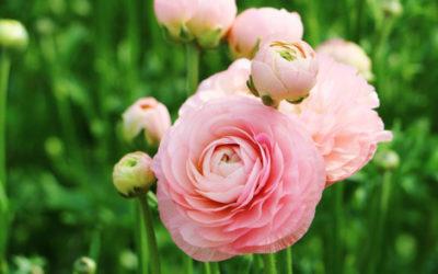 ラナンキュラスの育て方。球根の植え付け時期・方法は?冬や花後の管理は?