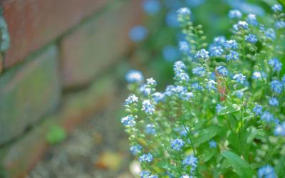 ワスレナグサ(勿忘草)の育て方。種まき・植え付けの時期は?種取り・夏越しは可能?