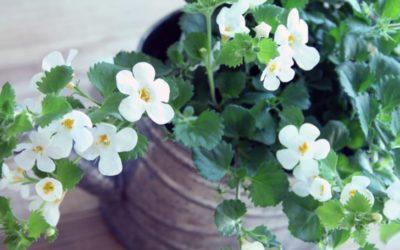 バコパの育て方。植え付け時期・方法は?摘芯・挿し芽のやり方は?