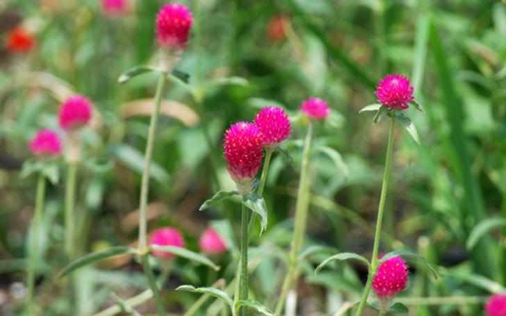 センニチコウ(千日紅)の育て方。種まき・植え付けの方法は?切り戻し・花がら摘みは必要?