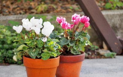 ガーデンシクラメンの育て方。植え付けの時期・場所は?冬の管理、夏越しの仕方は?